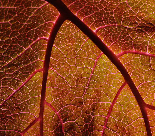 Leaf veins connections