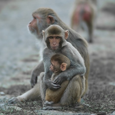 Macaque monkey with child