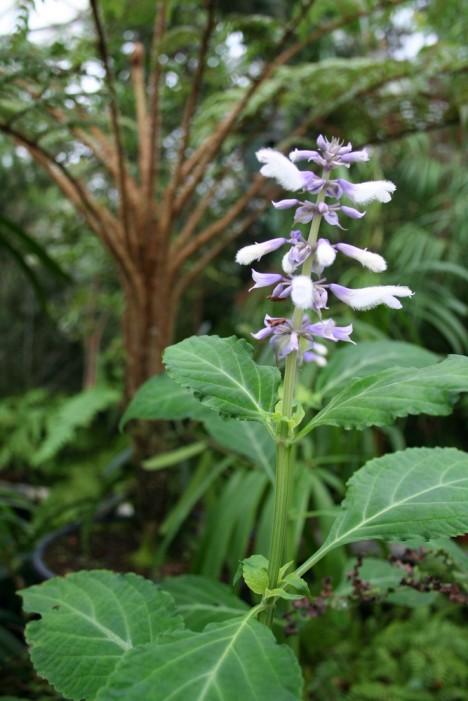 Salvia divinorum plant