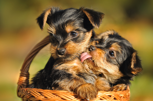 Two puppies licking